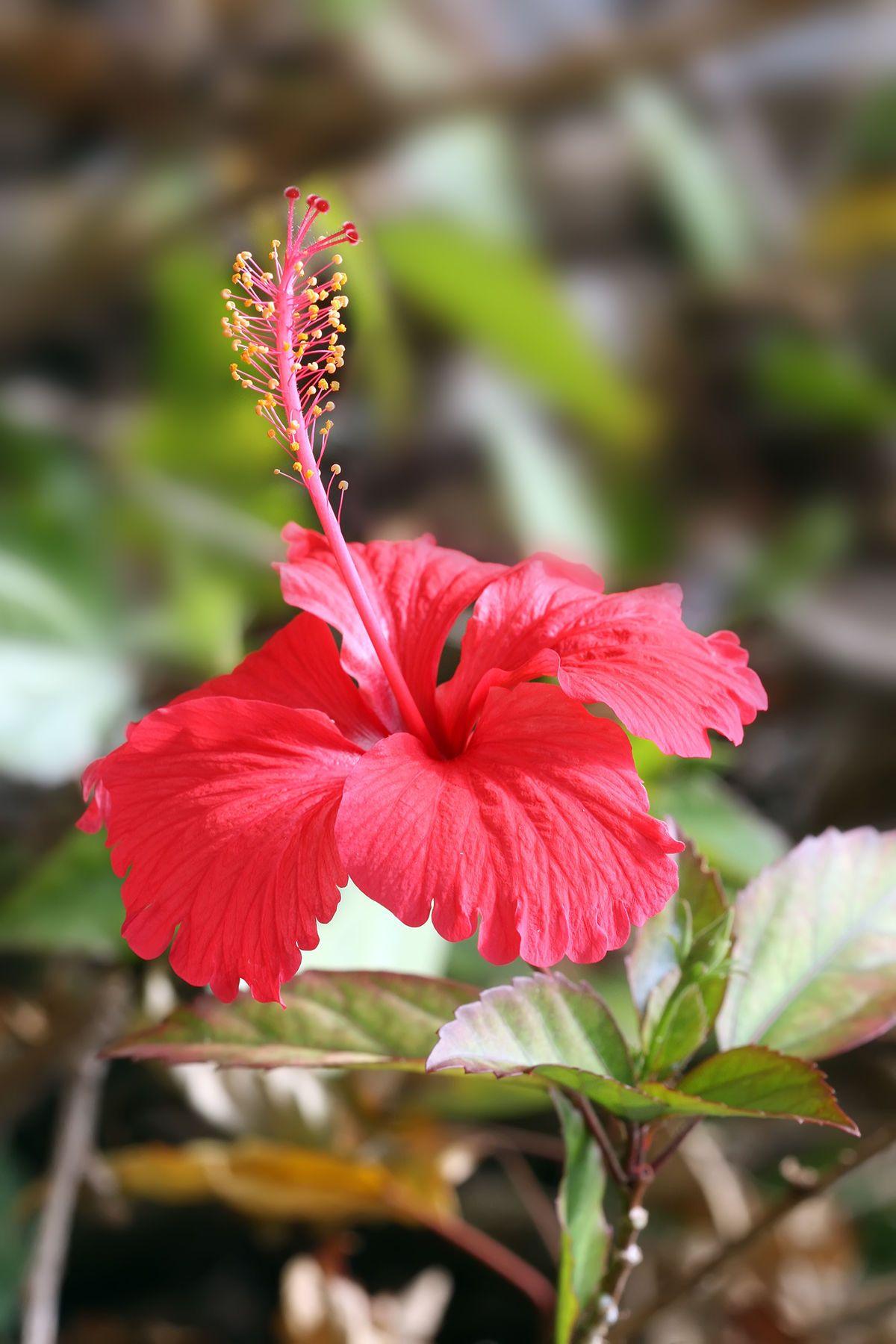 Hibiscus Wikipedia Flowers Hibiscus Plant Gumamela