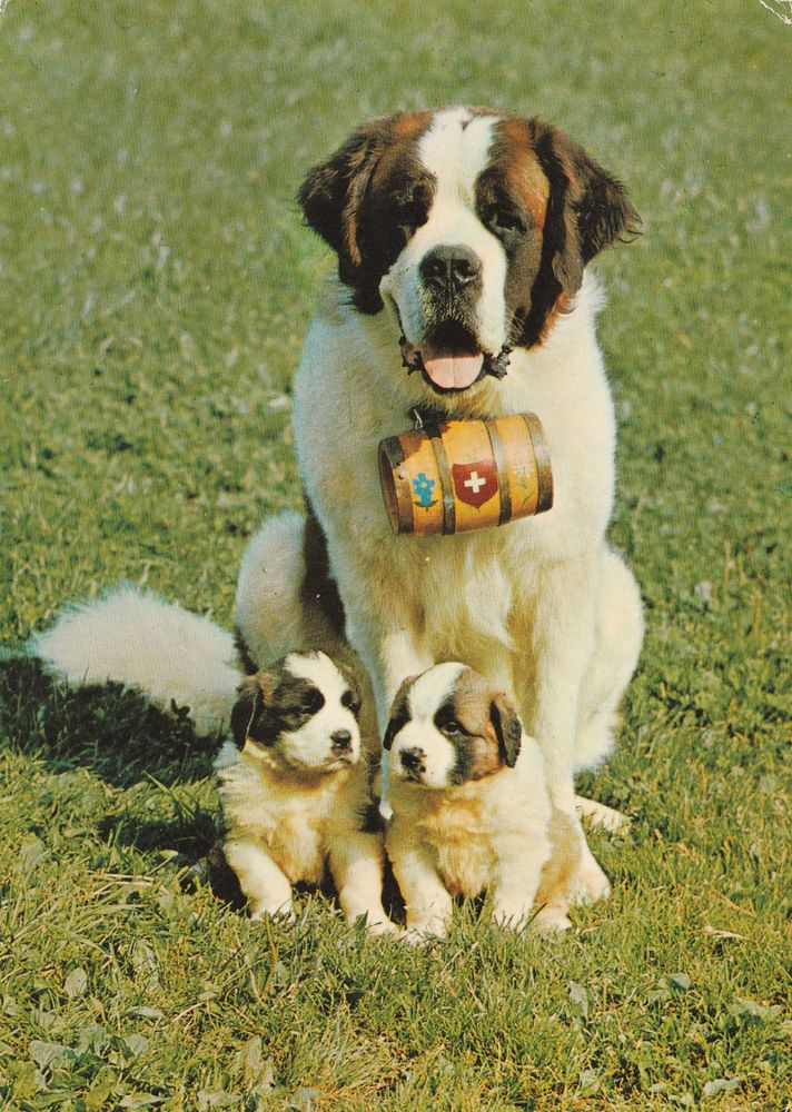ST SAINT BERNARD DOG POSTCARD - ADULT AND TWO PUPS - CUTE!!