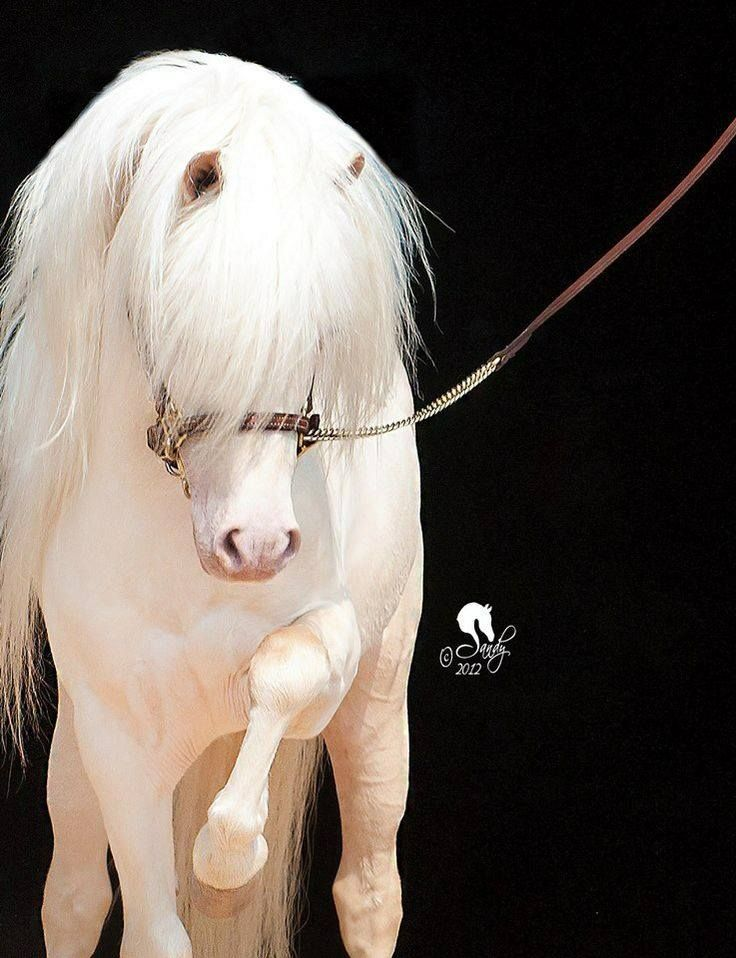 """scarlettjane22: """"  First Knight's Billy Idol…..Cremello Miniature Horse stallion For The Love Of Horses """""""