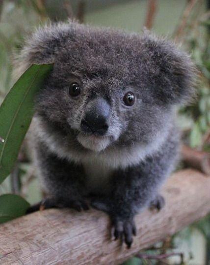 Baby koala animal kingdom fluffy animals cute animals baby animals - Pics of baby koalas ...