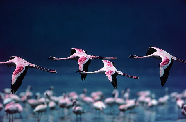 Flamingos Flying across salt lakes by Exodus Travels - Reset your compass, via Flickr