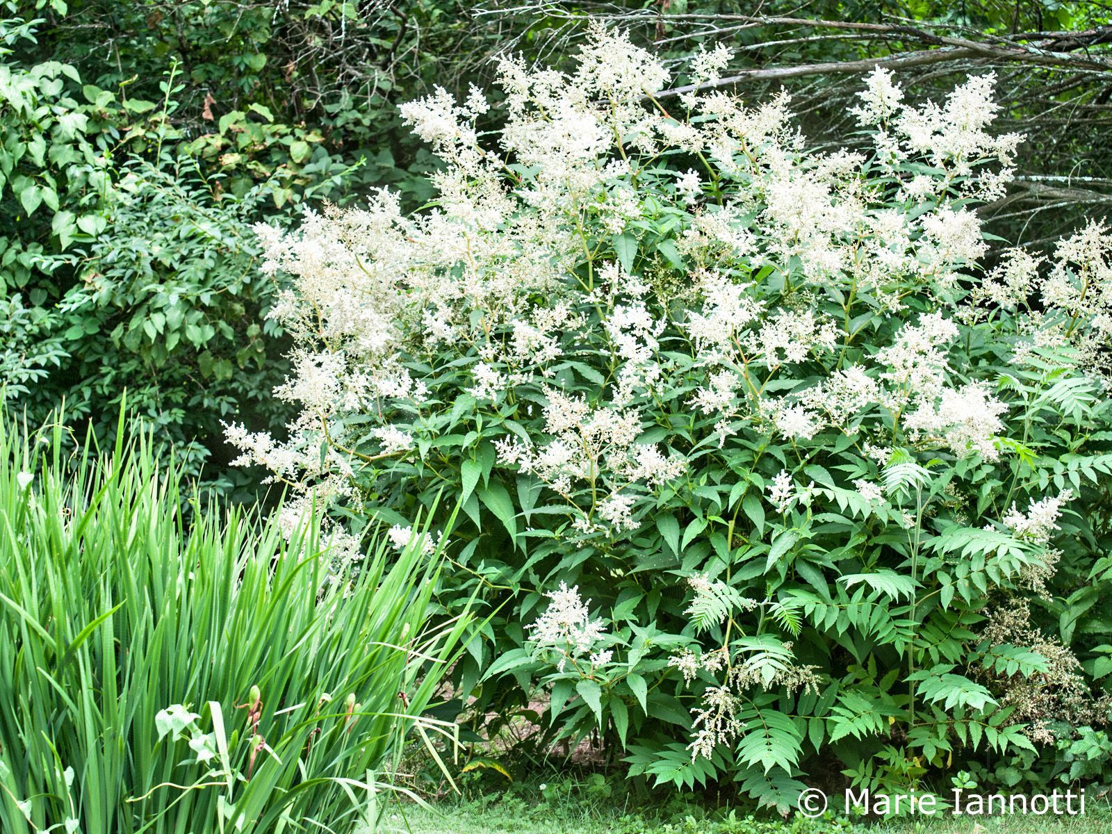 Grow Giant Fleece Flower Persicaria Polymorpha Orchides