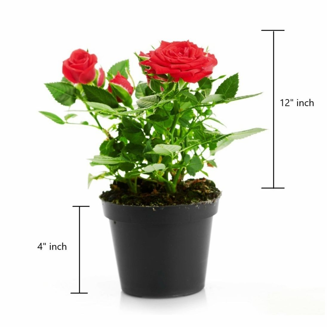 Flower Plants Online Shopping In India Expomx In Expomx In In 2020 Planting Flowers Plants Live Plants
