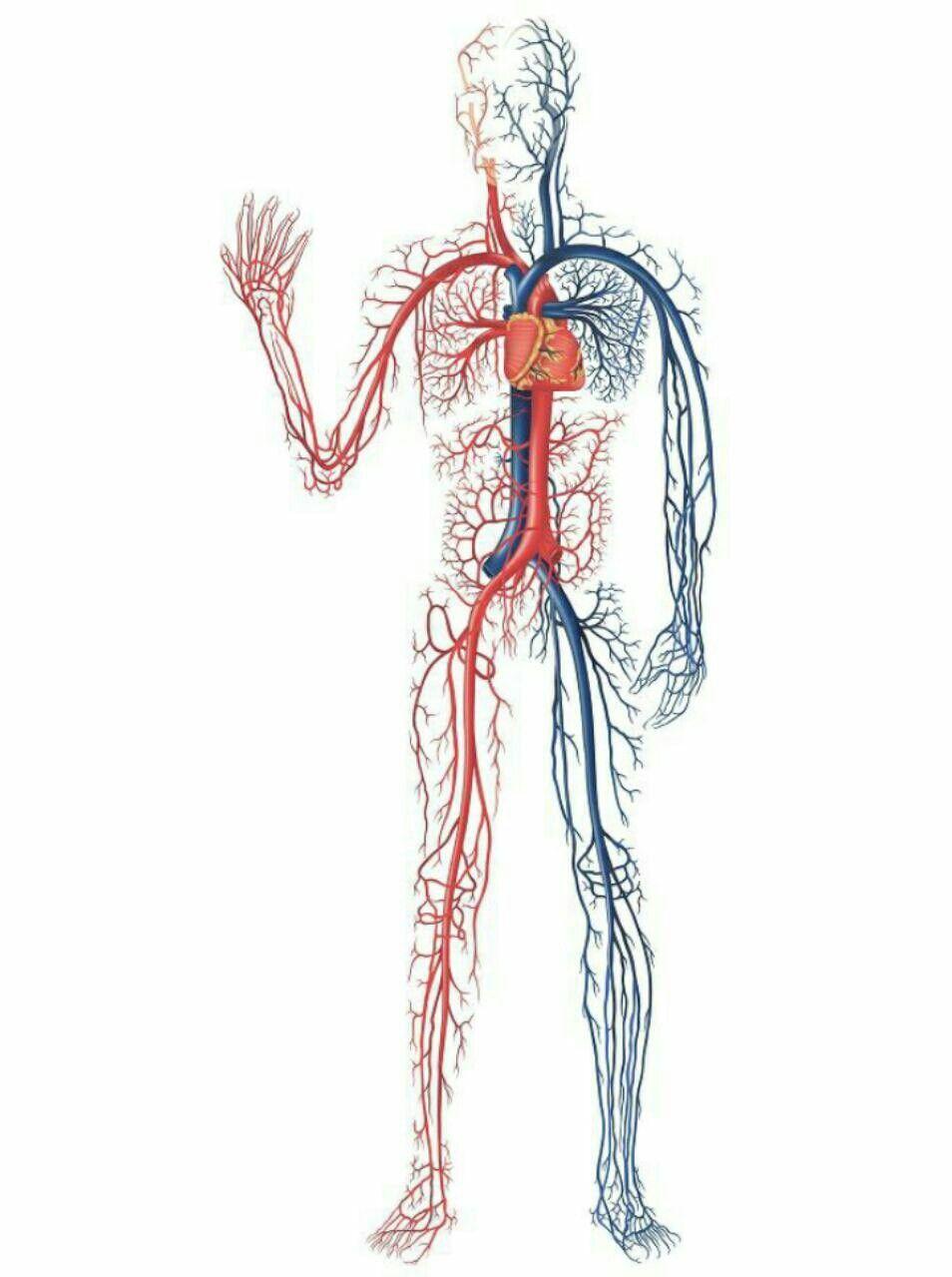 100 000 كيلومتر طول الأوعية الدموية في جسم الإنسان Save