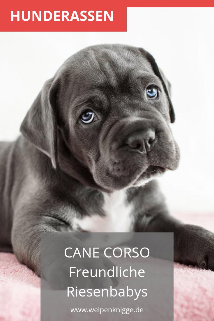 Cane Corso Welpen Hunde Rassen Cane Corso Welpen Hunderassen
