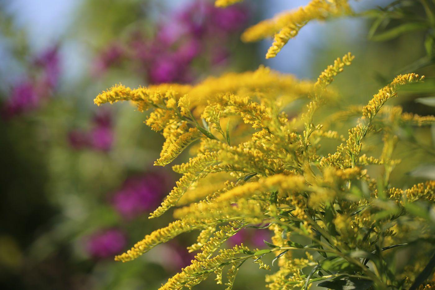 Goldenrod Medicinal Uses Benefits Goldenrod Flower Herbalism Goldenrod