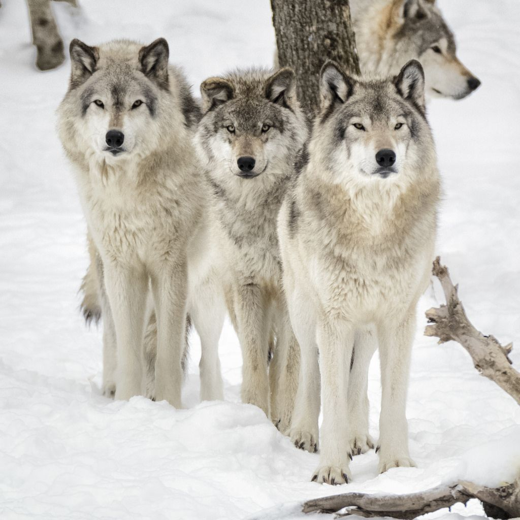 """wolfsheart-blog: """"Wolves by Nathalie Thivierge """" 