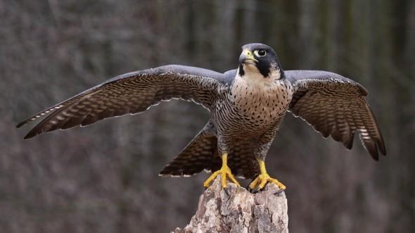 Peregrine Falcon Peregrine Falcon Peregrine Animals