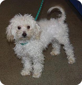 Stafford Tx Maltese Poodle Miniature Mix Meet Gossamer A Dog