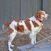 American Brittany Rescue Chipewa (Utah) American