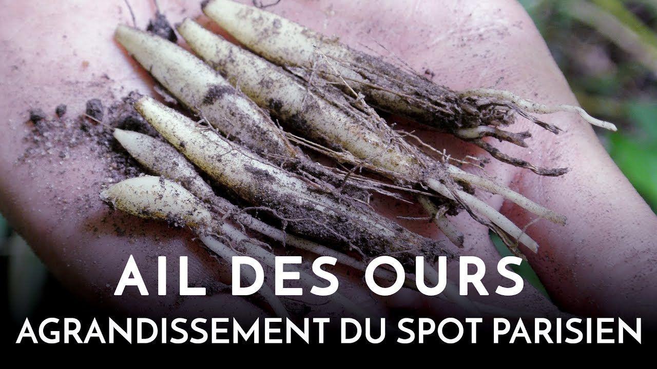 Planter et semer l'ail des ours à Paris | Ail des ours, Ail, Plantes comestibles