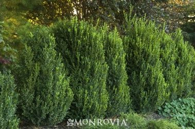 Green Mountain Boxwood Moderate Growing 5 Ft Tall 3 Ft