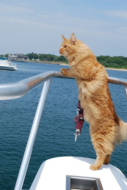 You don 39 t think of cats on boats but they do love fish for Koi pond maine coon cattery