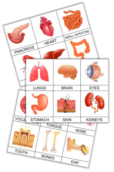14+ Human Organs 3 Part Montessori Cards