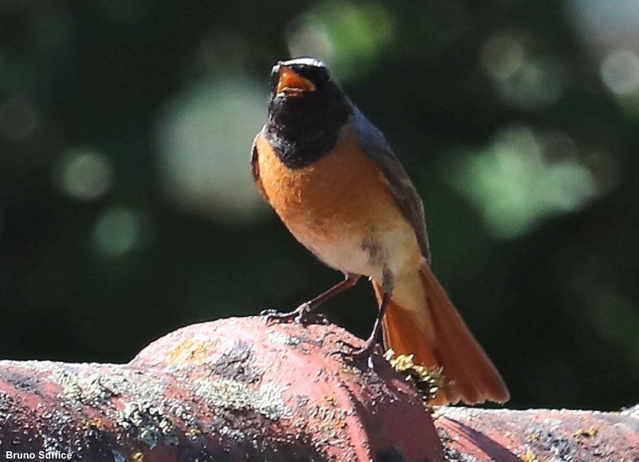 Identifier Les Oiseaux Des Jardins Et Des Parcs Au Printemps Et En Ete Ornithomedia Com Oiseaux Des Jardins Parcs Identifier Les Oiseaux