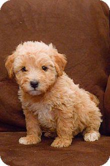 Salt Lake City Ut Havanese Poodle Miniature Mix Meet Braydon