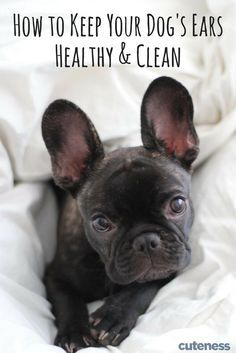 Your Dog S Ears Are Important To His Or Her Health Here S How You