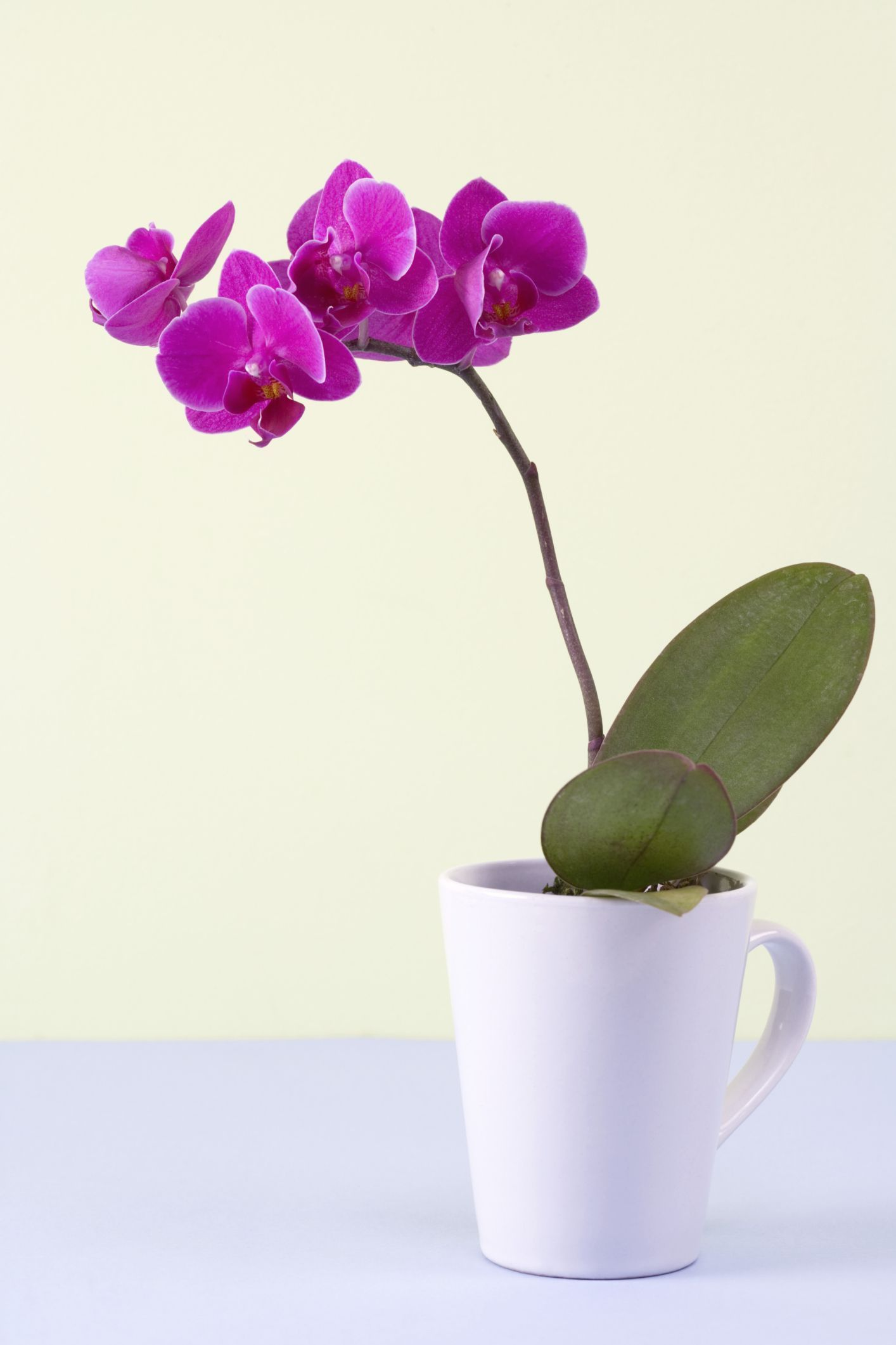 What you do with the spent flower stem after an orchid blooms