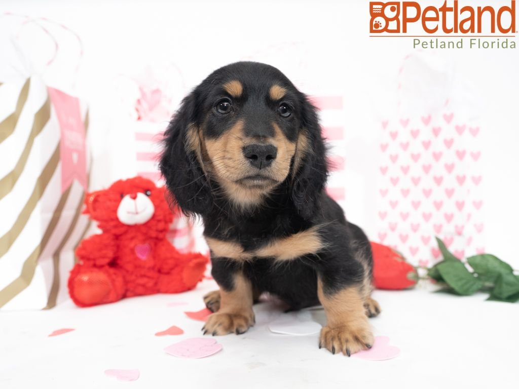 Petland Florida has Dachshund puppies for sale! Check out