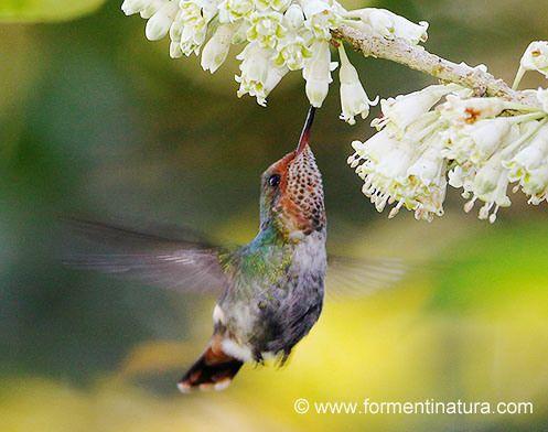 Frilled Coquette | ... ( Lophornis magnificus ) (Frilled Coquette); Mata Atlántica, Brasil