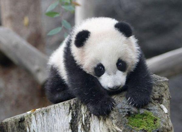 丸太にしがみつく赤ちゃんパンダ