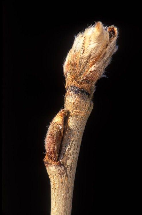 Bomenwijzer - knop lijsterbes - sorbus aecuparia