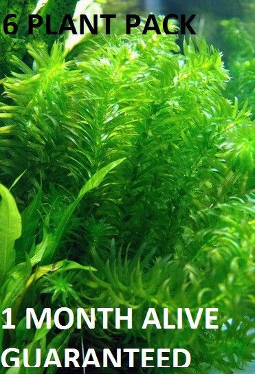 6 Bunches Of Anacharis Elodea Easy Aquarium Plant Aquascaping Planted Tank