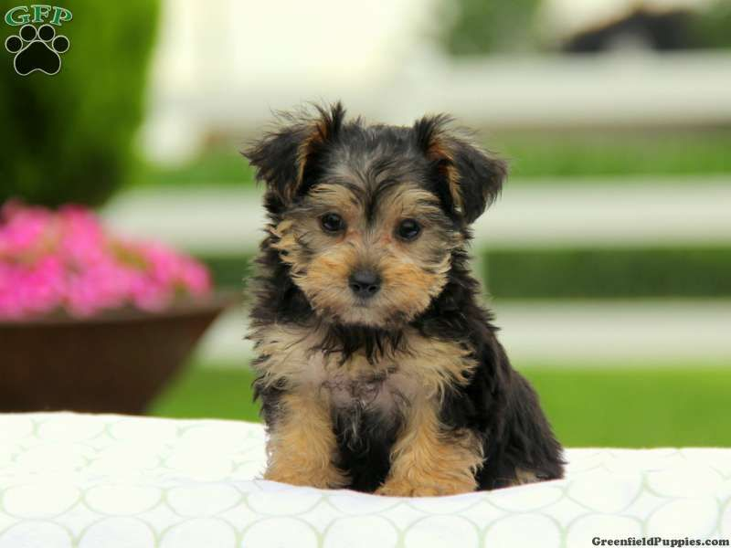 Yorkie Poo Puppies For Sale In Pa Yorkie Poo Puppies Yorkie