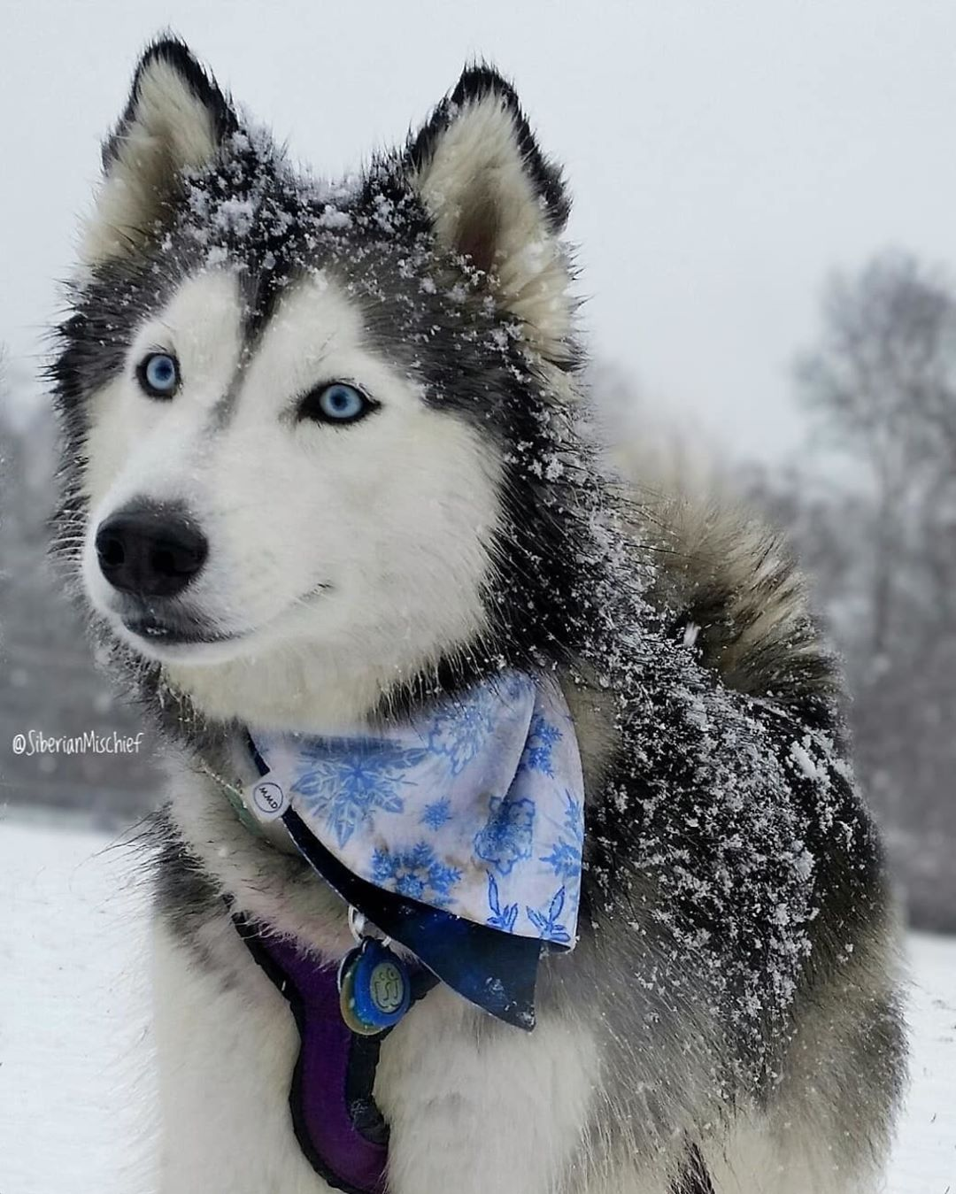 968 Likes 15 Comments The Huskies Diary Huskiesdiary On