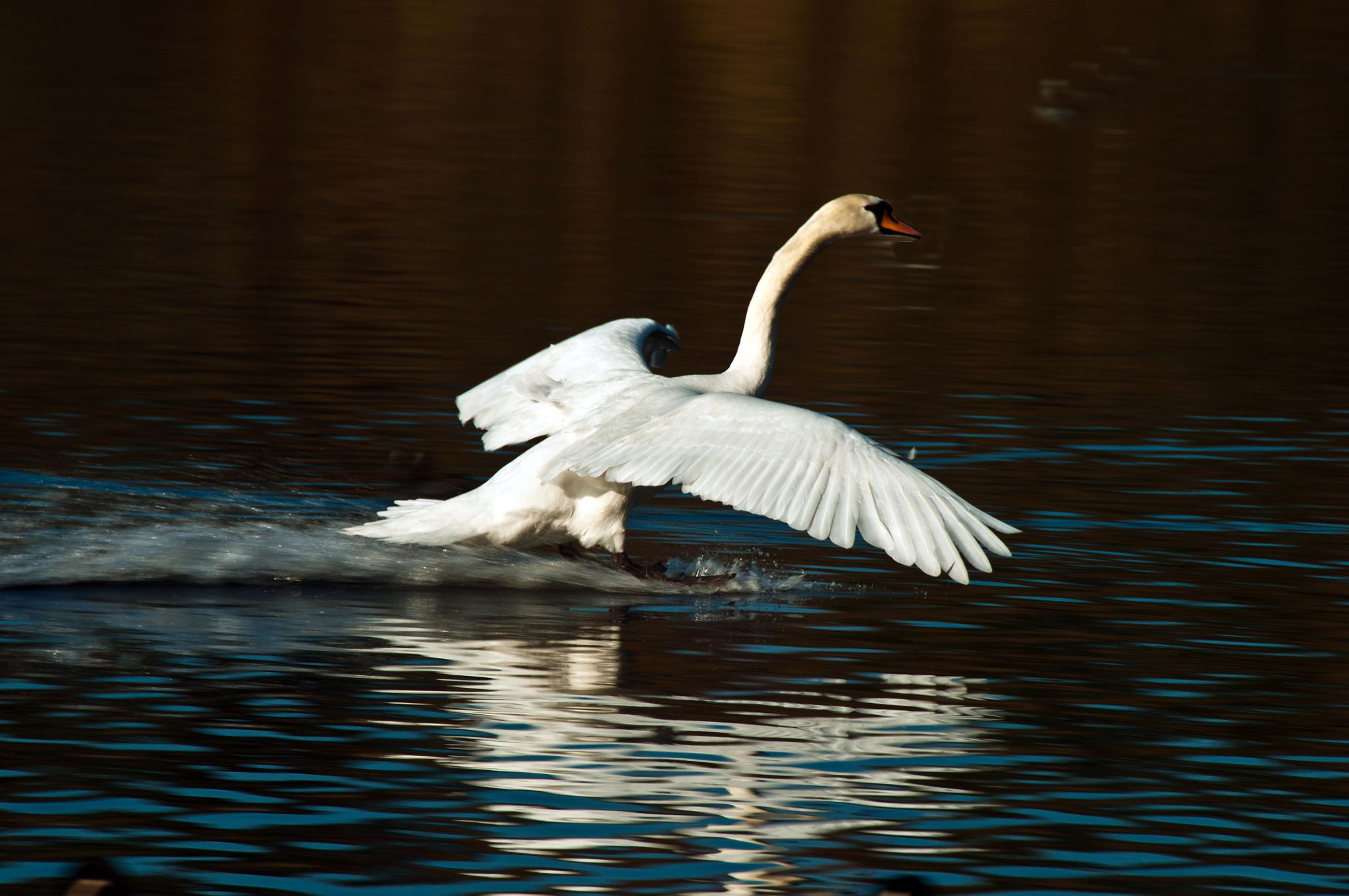 A safe landing - Here is a swan coming in to land on Cosmeston Lake near to the town of Penarth in South Wales.