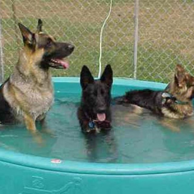 Gsds Dog Days Of Summer Puppy Pool German Shepherd Dogs