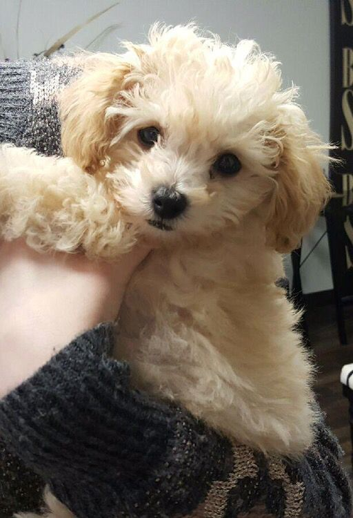 Maltipoo Puppy 9 Weeks Old And 2 22lbs Maltese Poodle