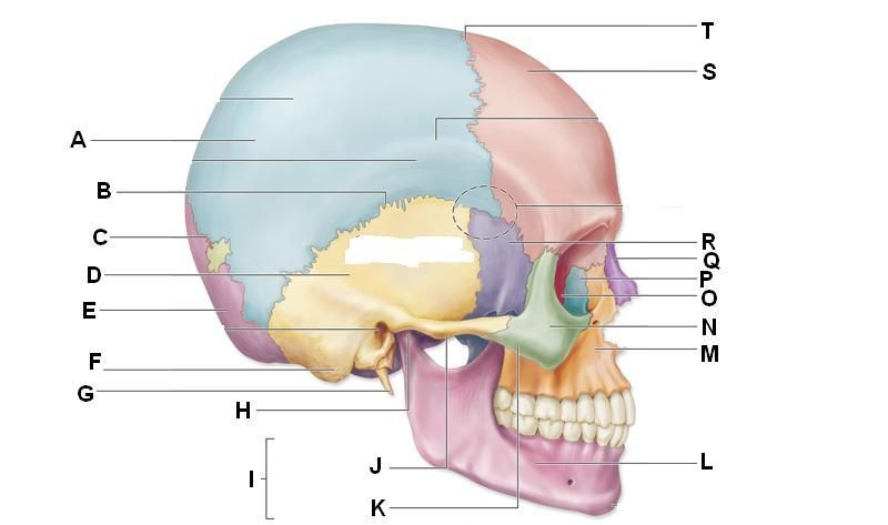 Suture Skull Diagram Unlabeled - Wiring Library •