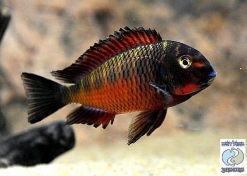 Tropheus Moorii Chimba Cichlid Fish Aquarium Fish African Cichlids