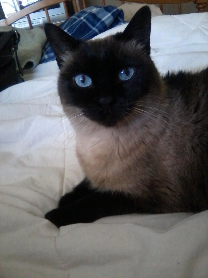 Siamese Orientals Cats Lilac Point Seal Tabby Silver Siamese