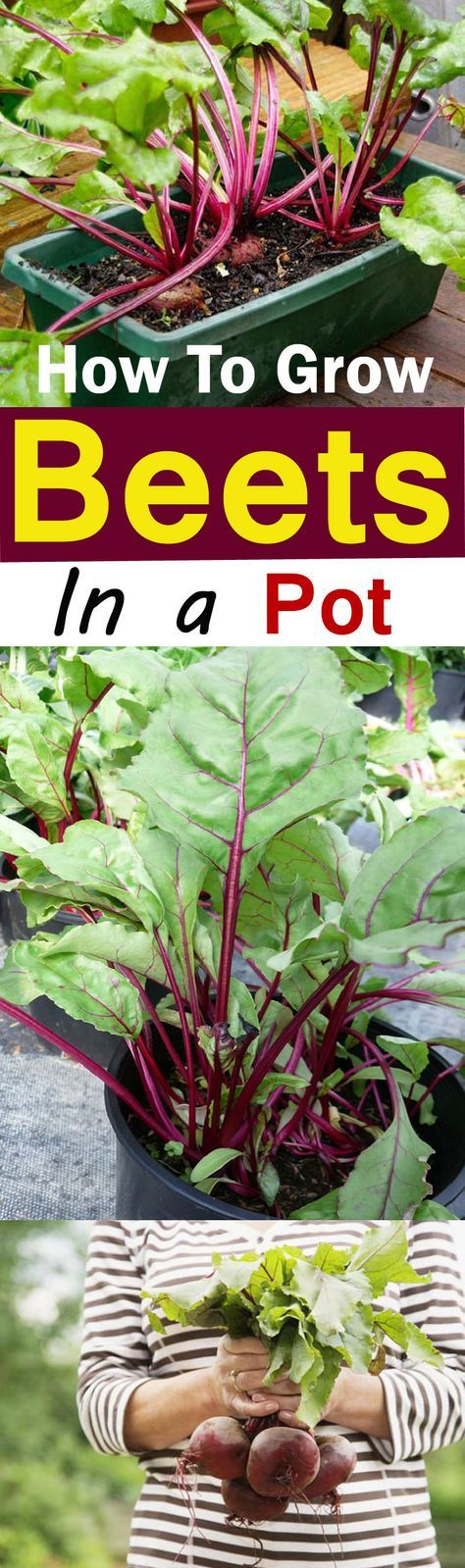 Growing Beets In Containers How To Grow Beets In Pots Growing Vegetables Growing Beets Container Gardening Vegetables