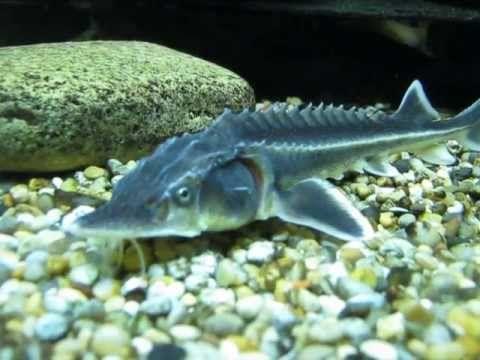 Diamond Sturgeon 8 10inch Aquatic Village Sturgeon Fish Sturgeon River Monsters