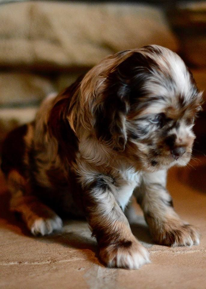 chocolate merle cocker spaniel | adorable pets | Pinterest ...