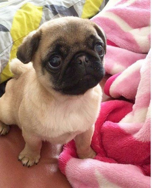 This Baby Pug Is Too Cute I Want A Pug With Images Baby Pugs