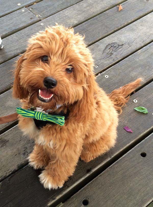Henry Cavoodle Via Myoodle Com Brisbane 2016 Myoodle Dog