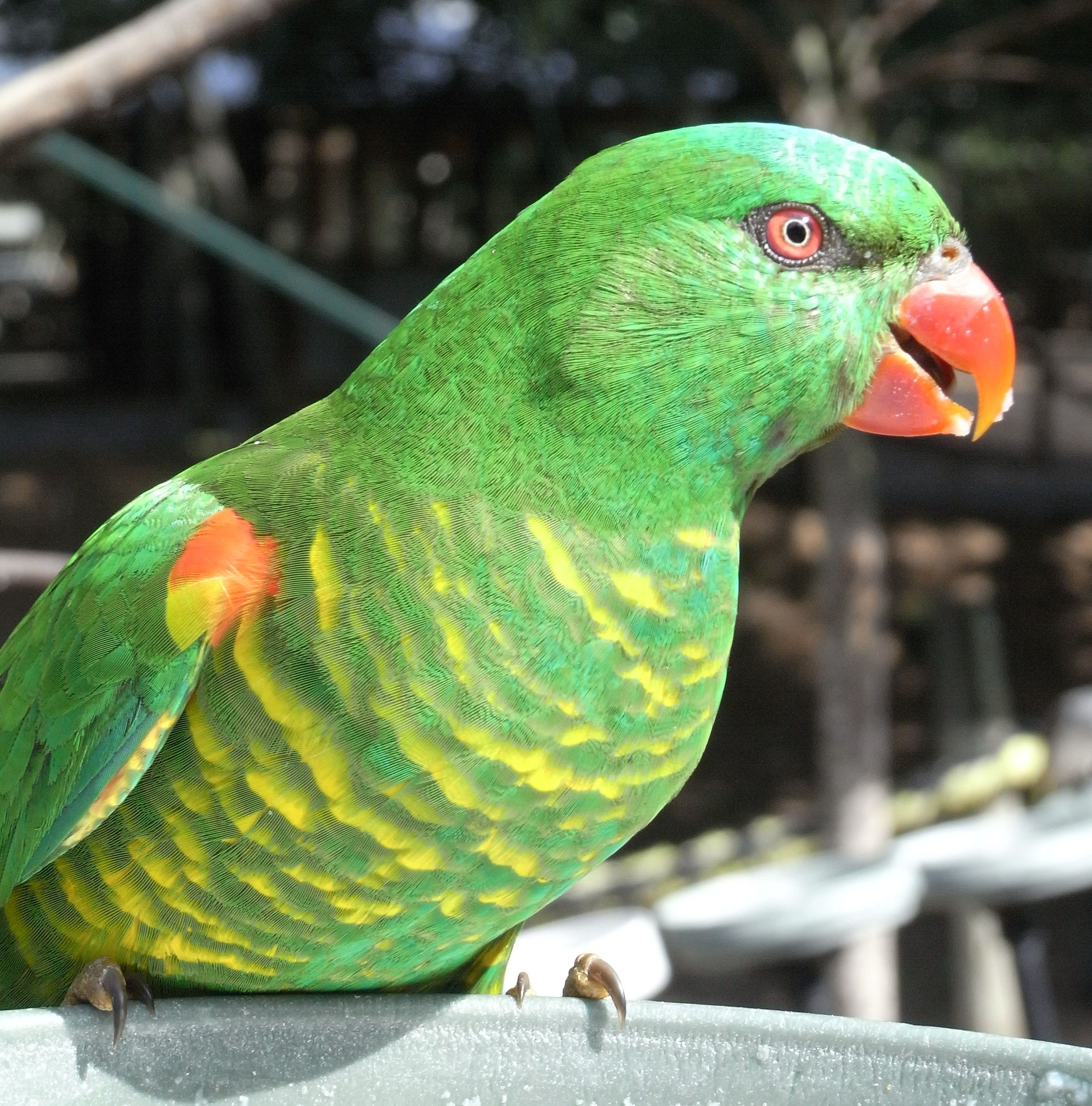 All About Scaly Breasted Lorikeets Pet Birds And Wild Birds Pet Birds Australian Birds Wild Birds