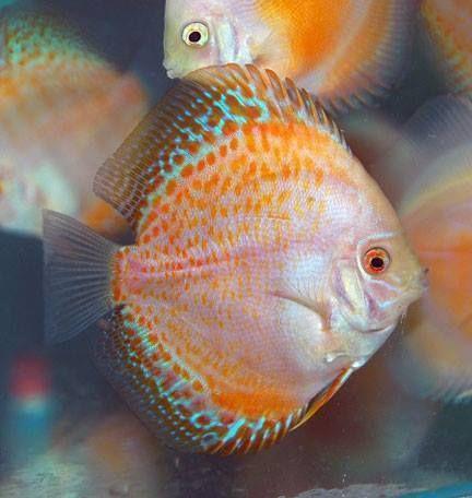 Goldenspot Jpg 432 456 Pixels Discus Fish Beautiful Fish Tropical Fish