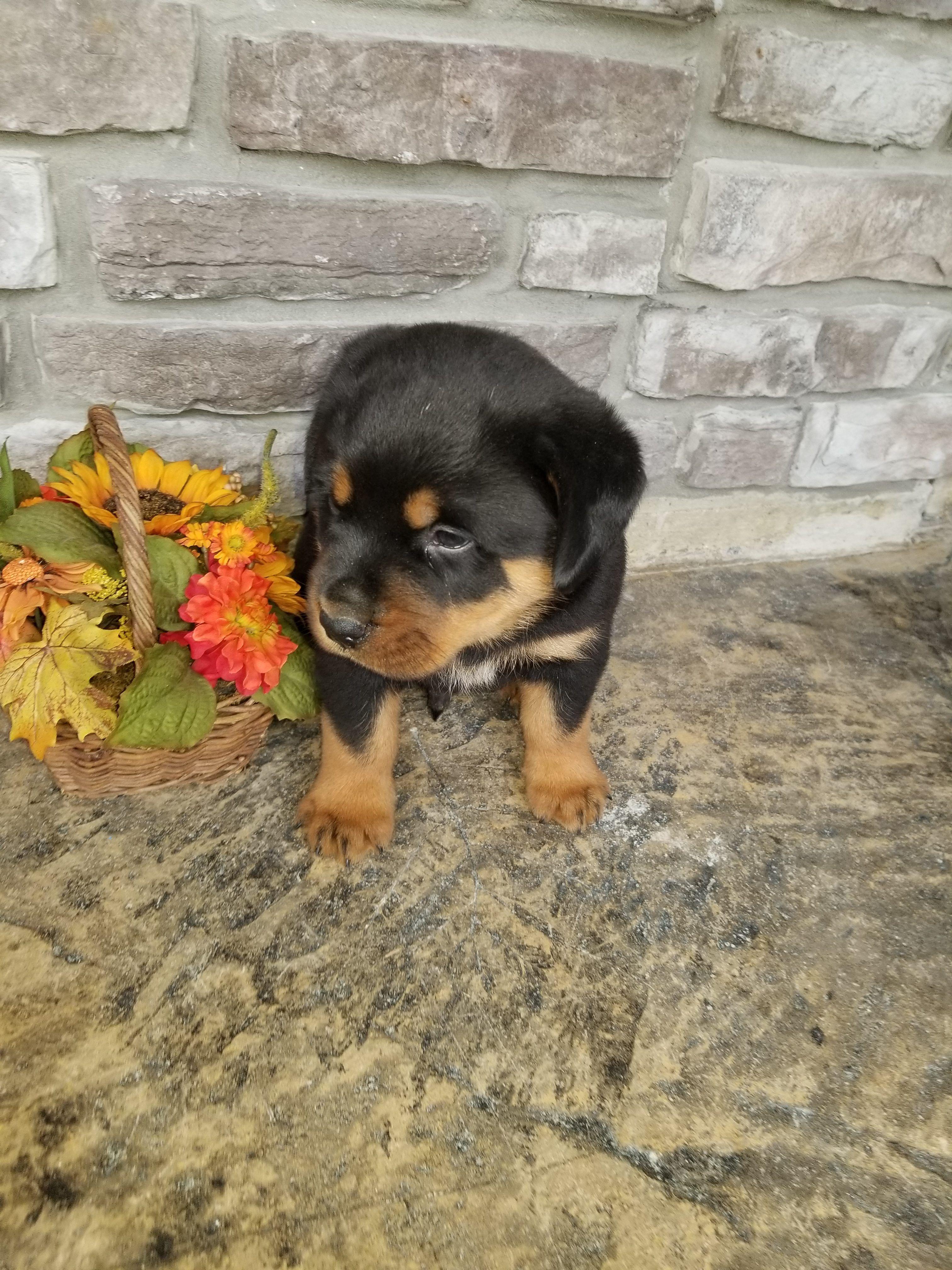 Bear Aca Siberian Husky Puppie For Sale Near Grabill Indiana