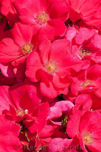 "Rosa ""Pink Flash"" - Rose"