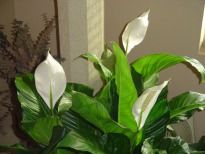Indoor plants that remove toxins from the air and plants that maybe harmful to children and pets