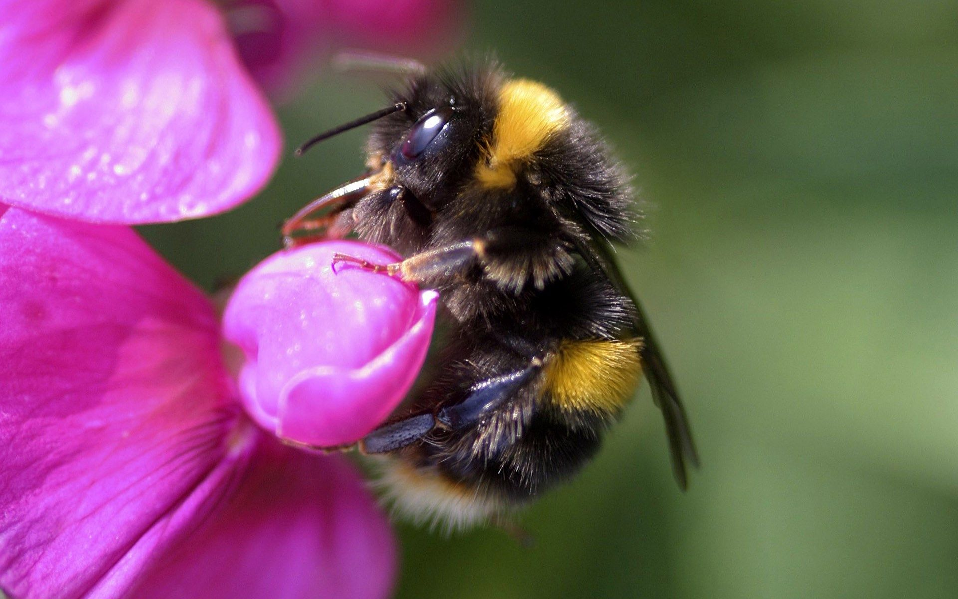 Wallpaper For Desktop Bumblebee Bee On Flower Bee Animals And Pets