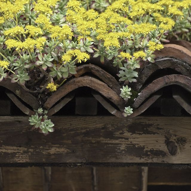 Sedum On Terra Cotta Roof Tiles With Images Terracotta Roof Green Roof Benefits Country Cottage Garden