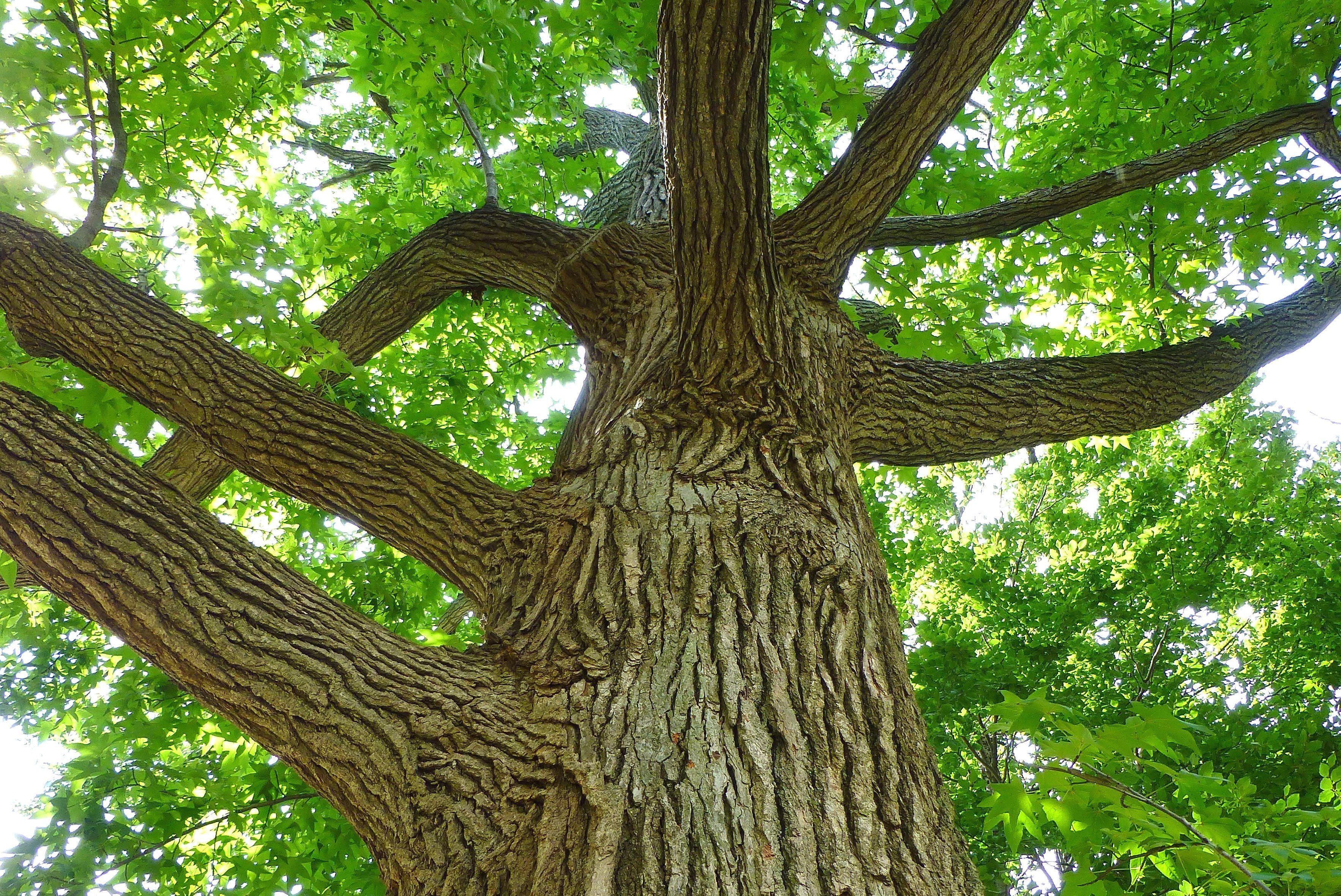 sweetgum tree with the alligator bark Garden plants