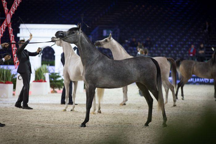 الحلاقة الجزء الثاني التجهيز لمسابقات جمال الخيل العربية Arabian Horse Horses Animals