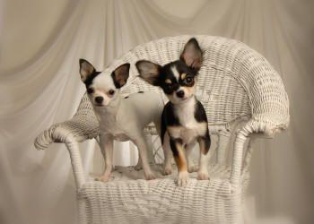 Brislin Chihuahuas Chihuahua Puppies Bred With Superior